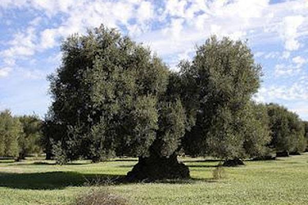 ulivo secolare 'Ambra' adottato dal Prefetto di Lecce Perrotta