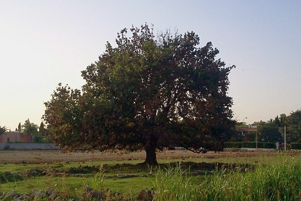 quercia di S.Sebastiano