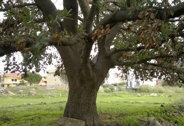 quercia vallonea di 'S.Sebastiano'