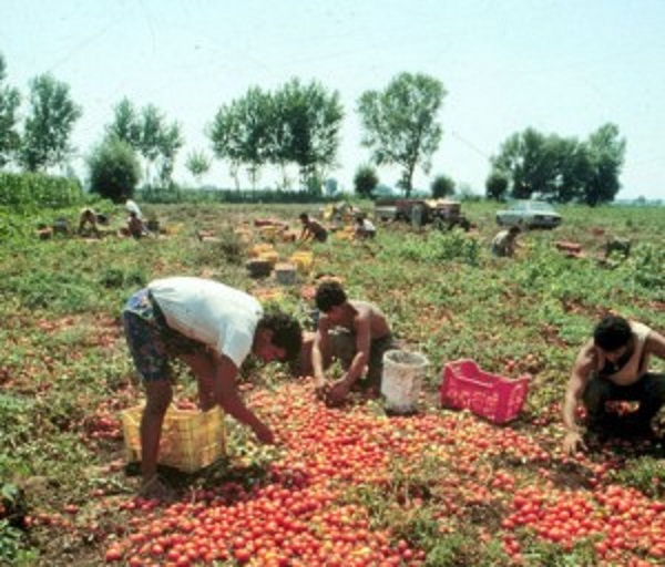 raccolta pomodori campagne neretine