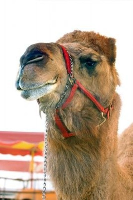 cammello