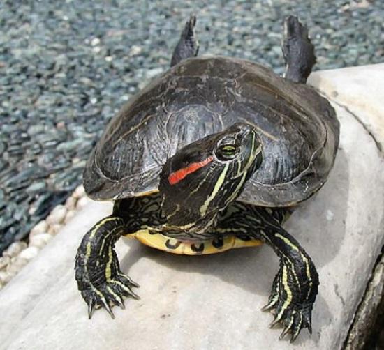 Recuperata morta tartaruga 39 dalle guance rosse 39 a nard for Tartaruga di palude