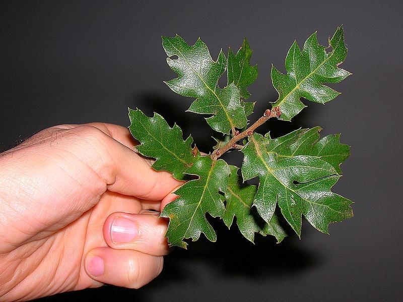 Quercus caroppoi, 1.01.2013, foto di Oreste Caroppo.2