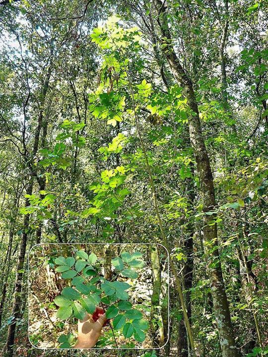 foto albero manna (1)