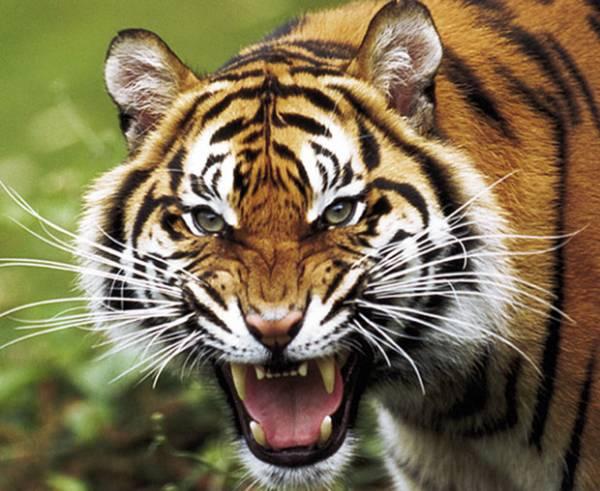 tigre-rid